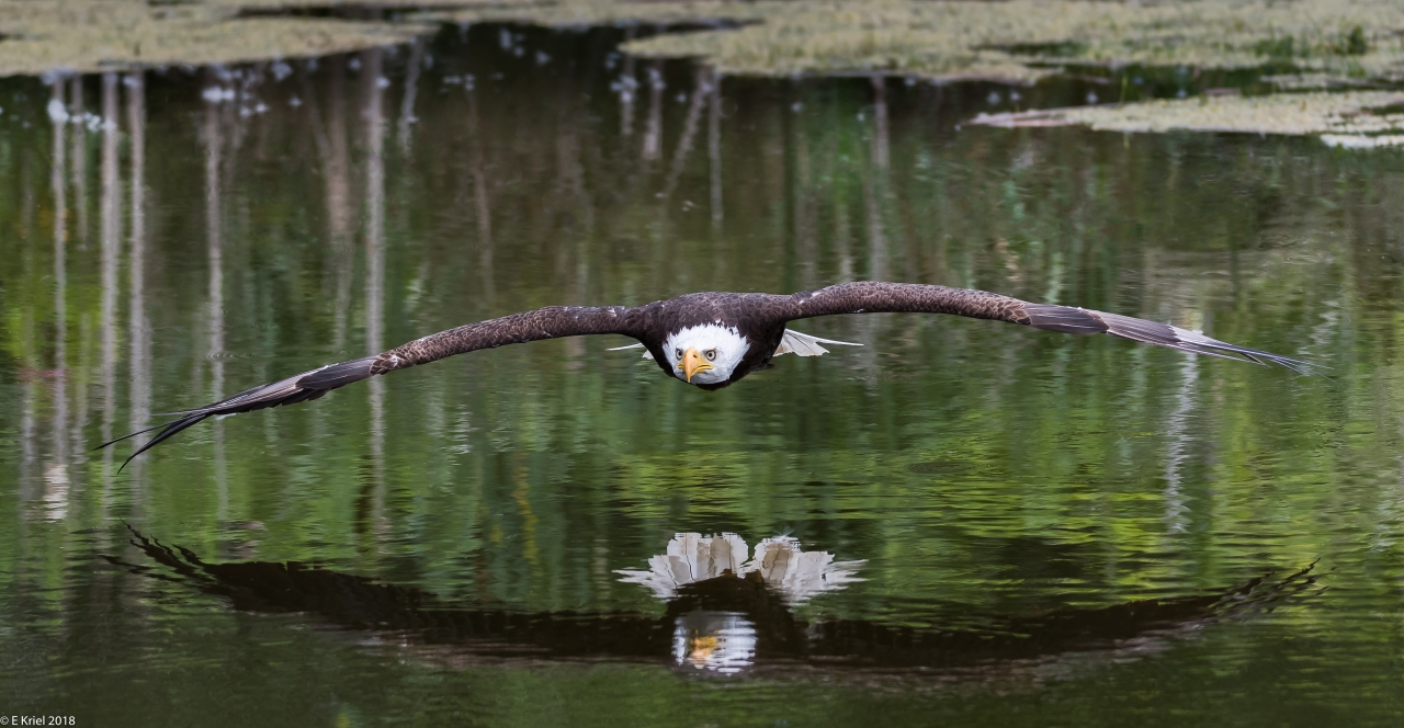 Bald Eagle over pond (sm)