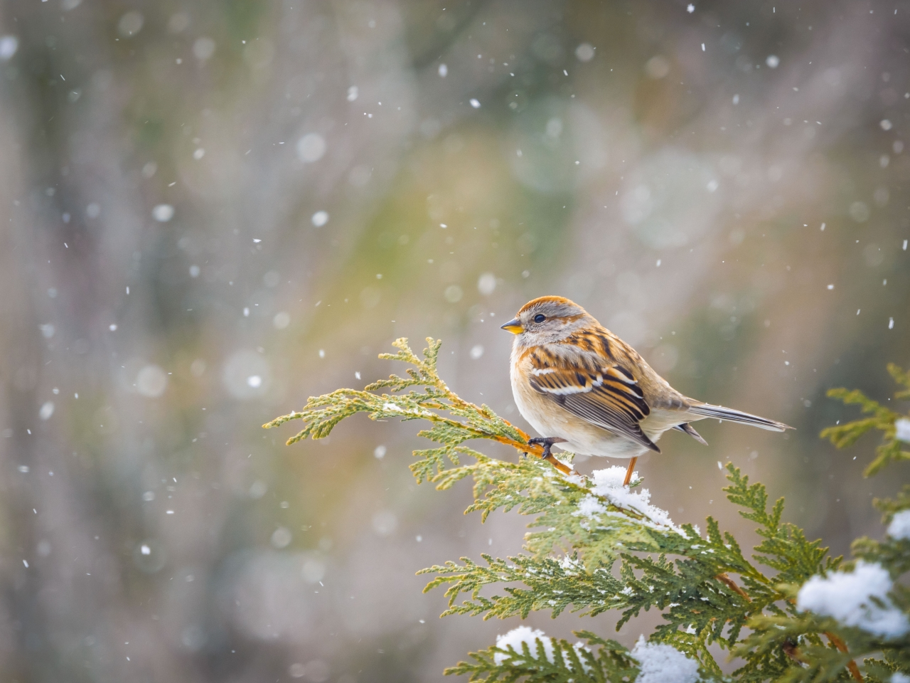 Winter Sparrow - Winner - Effective Depth of Field Category - Brian Gibson 201 Winter Challenge  Photographer's comment:  Waiting for a turn at the feeder this sparrow was perfectly perched on the snow covered hedge for a New Year's portrait as the snow continued falling.