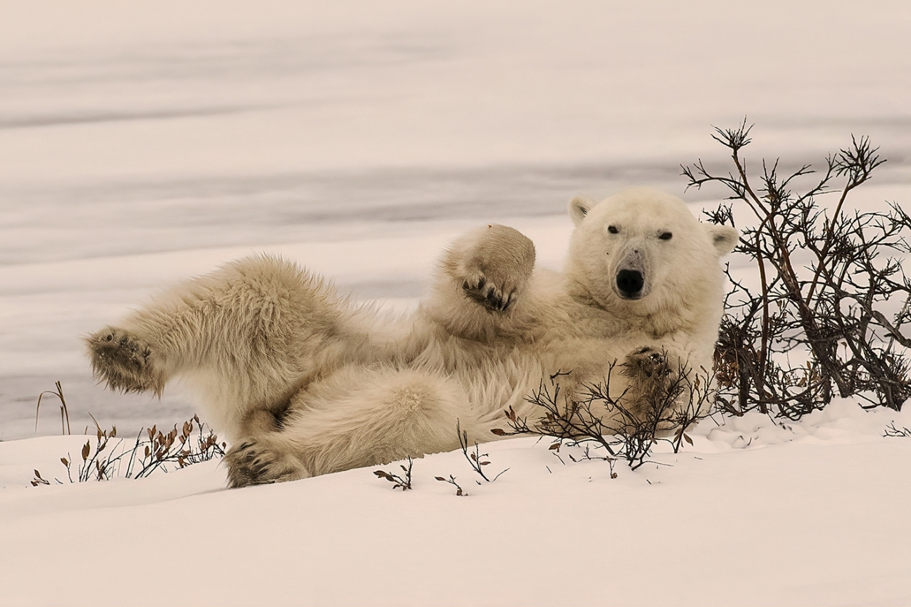 Polar Bear Chilling by Marilyn Jarrett - Runner Up - 2020 Winter Challenge Theme:  Animals in their Natural Environment
